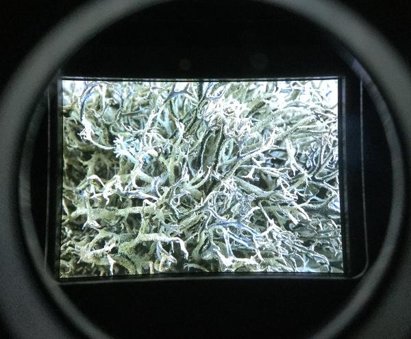 micropia lichen 2